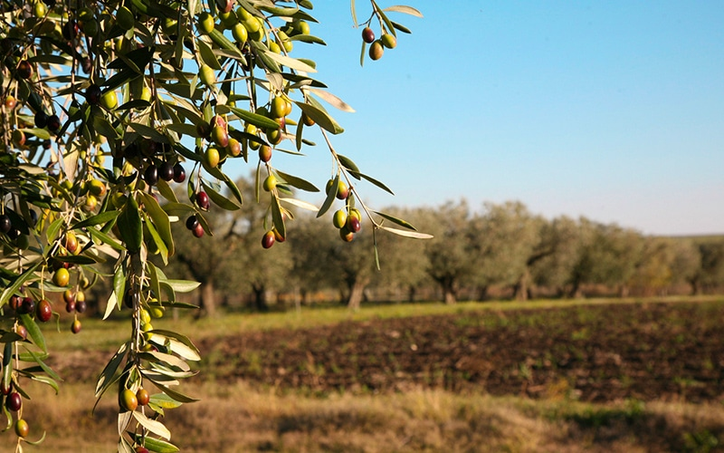 Olive trees in the Apulian landscape
