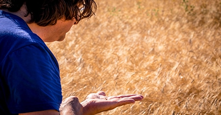 Ancient Grains, new flavors: the rediscovery of Sicilian wheat