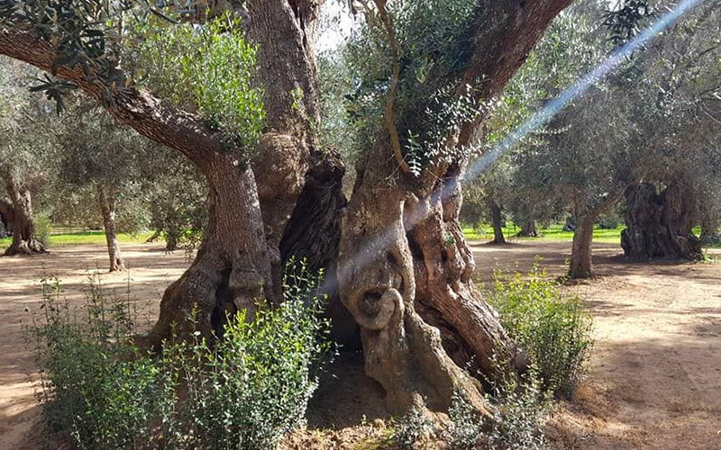 A century old olive trees