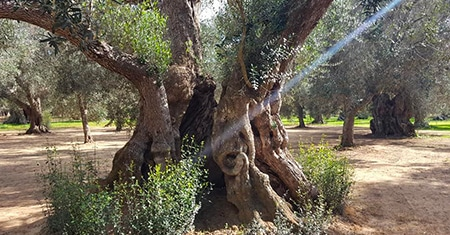 A patrimony to save: Apulian centuries-old olive trees